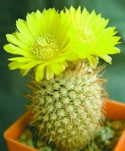 кактусы в фен шуй